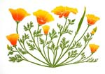 California Poppies linocut