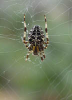 Orb-weaver with 7 legs
